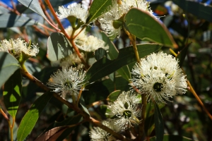 Cream eucalyptus flowers in sunlight up close with shadowed gum leaves.