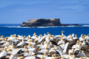Australiasian Gannet colony with island off Point Danger in background.