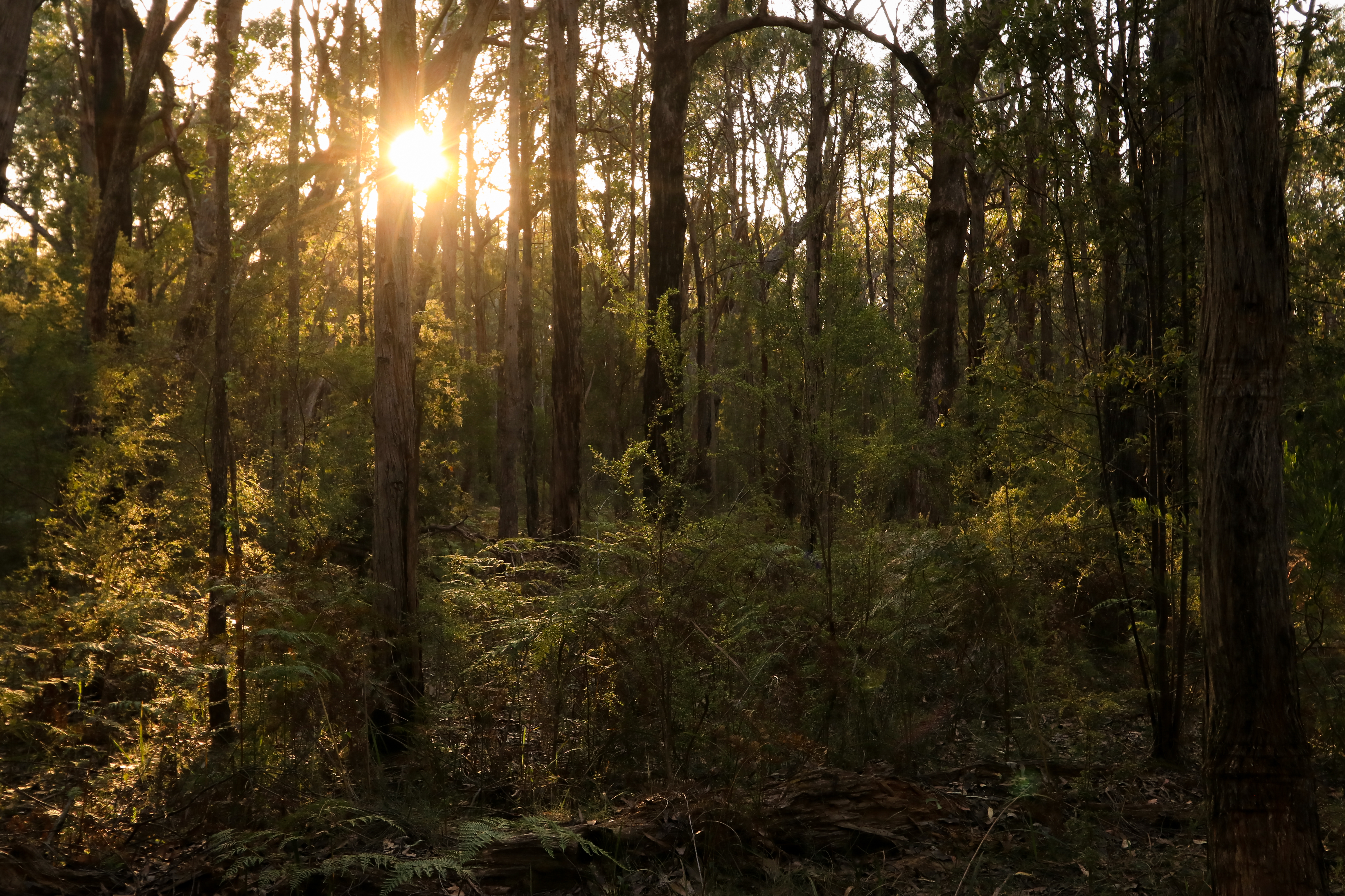 Final golden light glows in the young Cobboboonee forest.