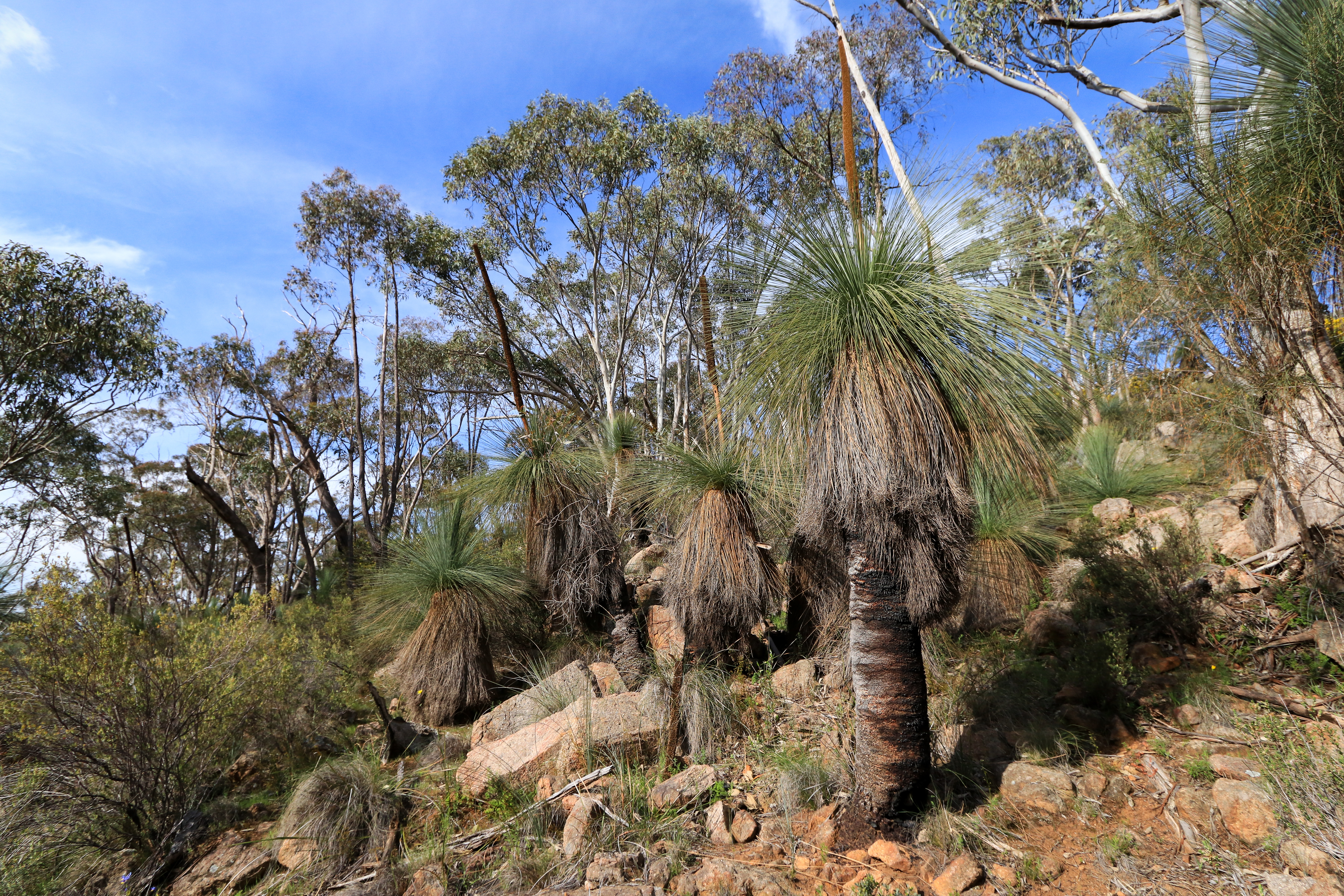 Group of grass trees on dry north facing slope
