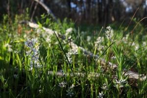 Flowering early nancies