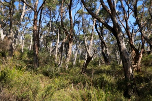 Open dry eucalypt forest, Refuge Cove