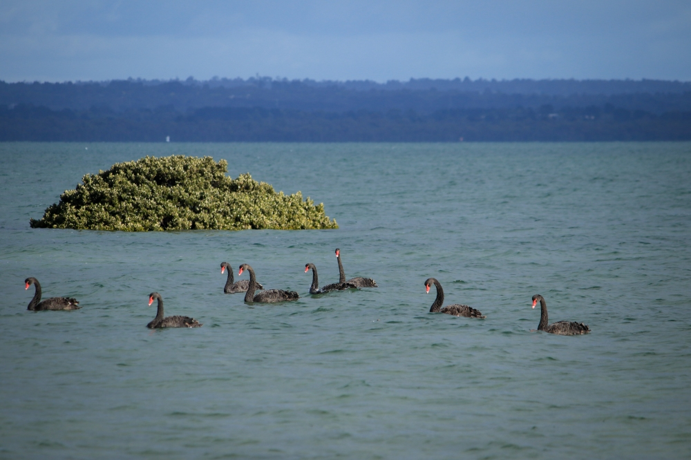 High tide flooded mangrove with eight black swans in foreground.
