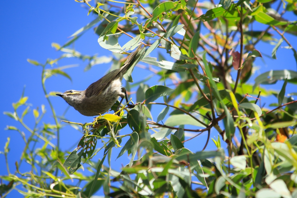 Honeyeater clasps to end of branch, about to fly to new branch.