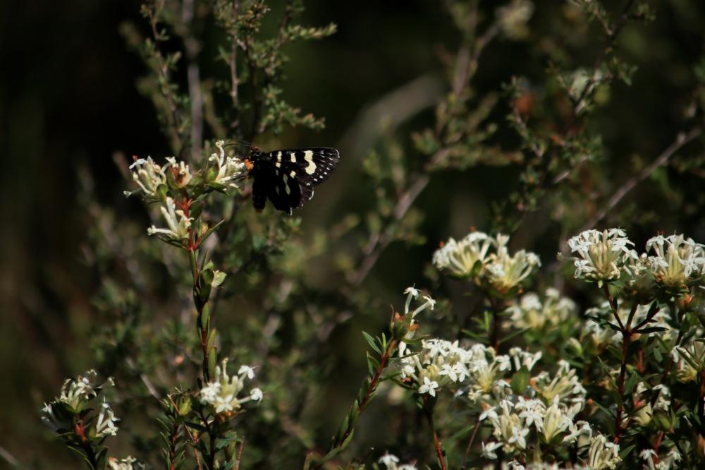 Black & yellow butterfly (species tbc) feeding on rice flower (Pimelia sp.)