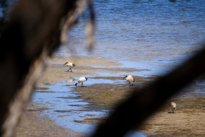 Gorgeous sacred ibis on the low tide flats.