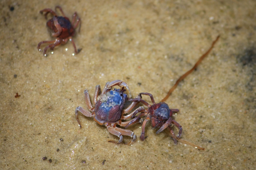 Three solider crabs, blue and purple colouration.