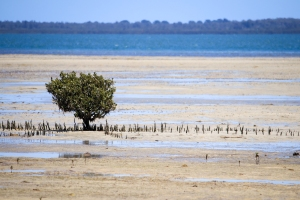 Isolated small mangrove exposed at low tide.