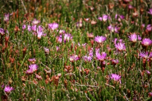 Beaded Glasswort mixed with purple Pigface flowers