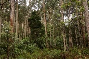Denser patch of valley vegetation, with darker foliage of blackwood standing out.