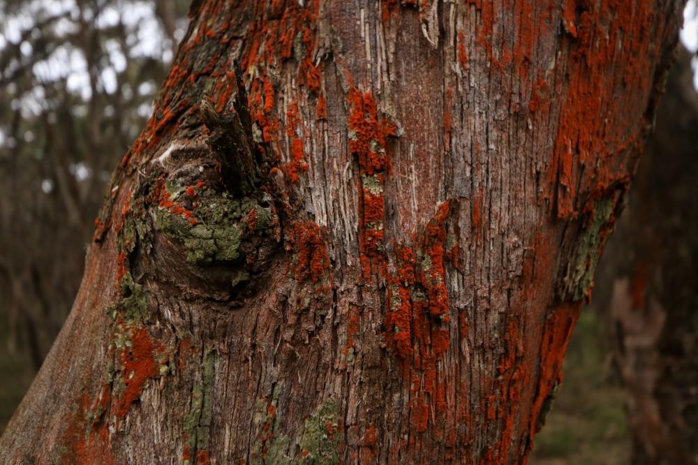 Dark orange algae grows on a eucalyptus branch.