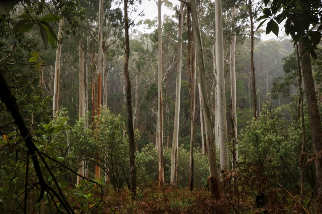 Valley of slender white gums surrounded by fine misty rain.