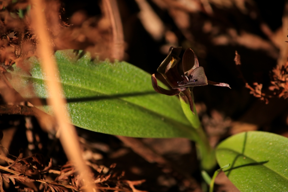 Close up of bird orchid