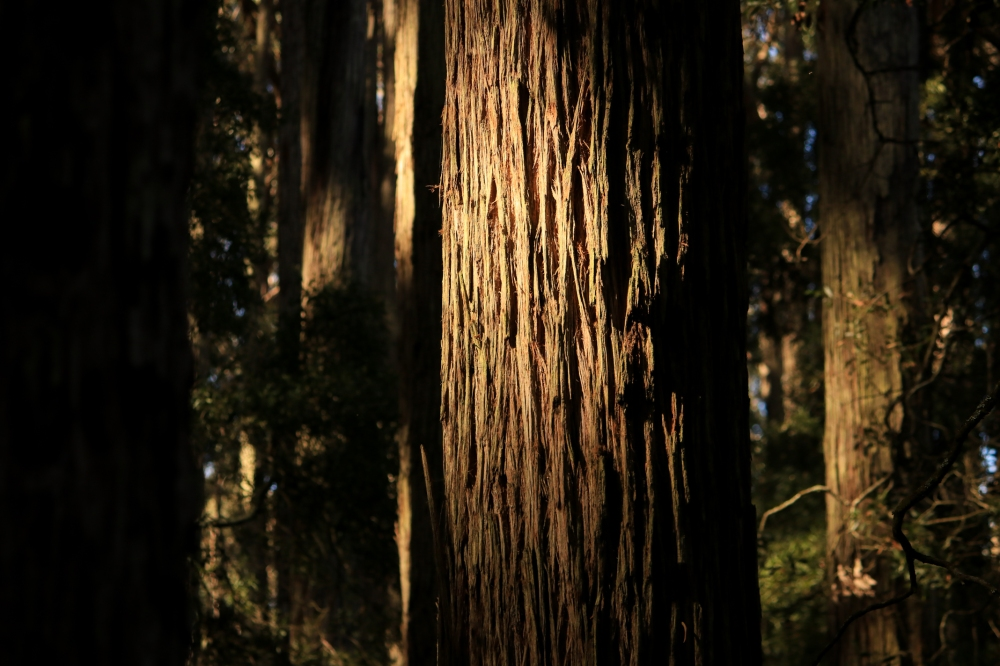 Evening light and shadows expresses stringy bark patterns.