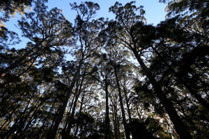 Silhouetted messmate eucalyptus trees in evening light.