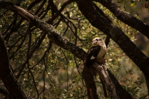 Kookaburra on Blackwood branch in low yellow light