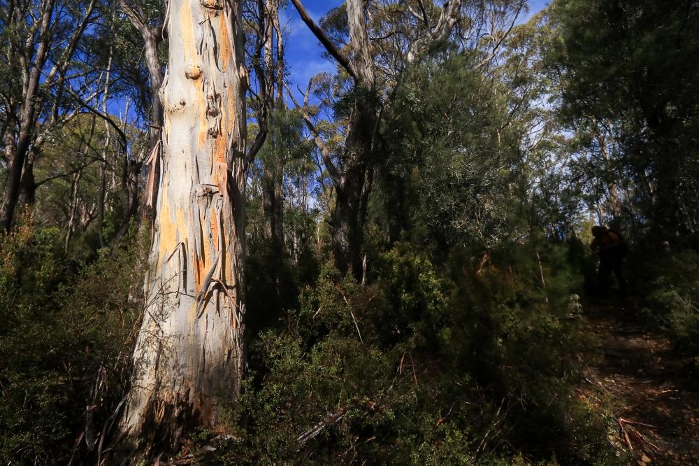 Eucalyptus glistens in otherwise shadowed bushland
