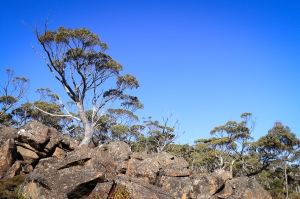 Blue sky, eucalypt stands tall on dolerite foreground